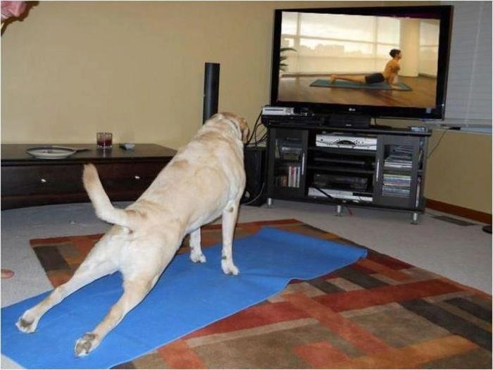 So cute!: Yoga Dogs, Downward Dogs, Funny Pictures, Yoga Poses, Dogs Yoga, Upward Dogs, Funny Animal, Doggies Yoga, Dogs Photo