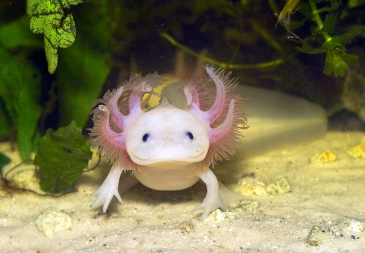 L'axolotl (Ambystoma mexicanum  une salamandre aquatique originaire du Mexique. Son nom, d'origine aztèque, a plusieurs significations : « chien d'eau » ou « monstre aquatique ». Toutes ces appellations se rapportent au dieu aztèque Xolotl, frère de Quetzalcóatl et dieu des morts.