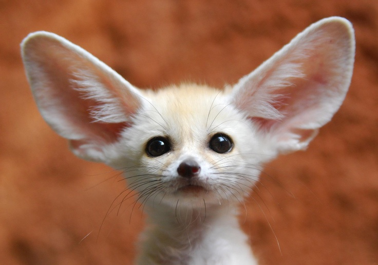 Oh....<3 the face of the Fenne Fox