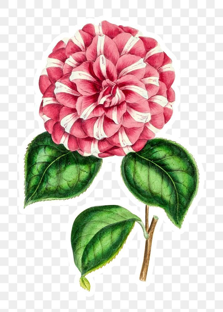 Hand Drawn Pink Camellia Flower Sticker With A White Border Design Element Free Image By Rawpixel Com In 2020 Camellia Flower Flower Designs Design Element