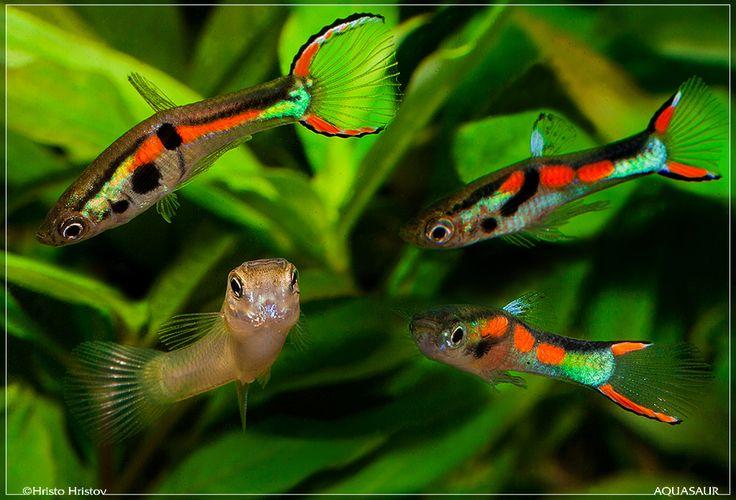Poecilia wingei endler 39 s livebearer 696 Livebearer aquarium fish