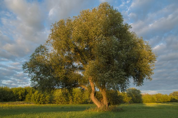 Old willow #nature #naturephotography #wood #plant #oldwood #love #garden #landscape #photography #canoneos #manfrotto #aperture #willow #sunset #sun #art #meadow #green #beautiful #old #field #hungary #zsámbék