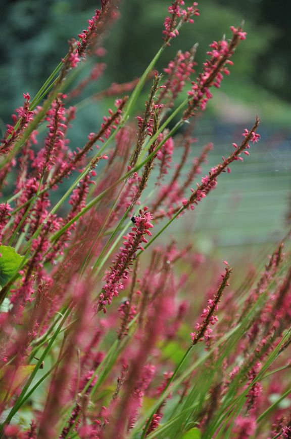 "Late Bloomers at the Toronto Music Garden. Persicaria ""Firetale"""