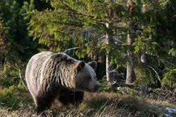 Brown bear - the largest mammalian predator in Poland.