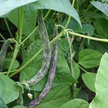 Haricot nain mangetout Pelendron, semis en juillet août septembre.