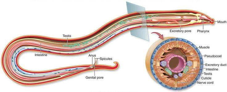 Los nematodos, también conocidos como nemátodos, nematodes y nematelmintos, son un filo de vermes pseudocelomados con más de 25.000 especies registradas. http://es.wikipedia.org/wiki/Nematoda