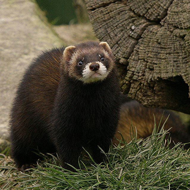 EUROPEAN POLECAT | Flickr - Photo Sharing!
