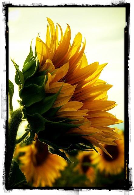 □■ 向日葵(ヒマワリ)の神話について ■□    おはようございます【bouquet】です.    旬な向日葵、けっこう感慨深〜い、ストーリーがあるんです!    ------  ギリシャ神話のひまわり    水の精クリュティエは太陽神アポロンに恋をしました*  しかしそれは叶わぬ片思いの恋でした…    恋する太陽神アポロンが東の空に昇ってくるのをひたすら待ち  天の道を巡る太陽神アポロンを目で追いかける毎日…    西の空に沈む頃には、また悲しみの涙が溢れる  食べ物と言ったら自分の流す涙と冷たい夜露だけでした…    ある日とうとう、彼女の足は地面に根付き、顔を花に変えてしまったのです.  こうして今でも向日葵になった水の精クリュティエは  太陽神アポロンを追い求めているのです.  ------    こうしたストーリーがあるので、ひまわりの花言葉は  「あなたを見つめる・憧れ・熱愛」になっているのです