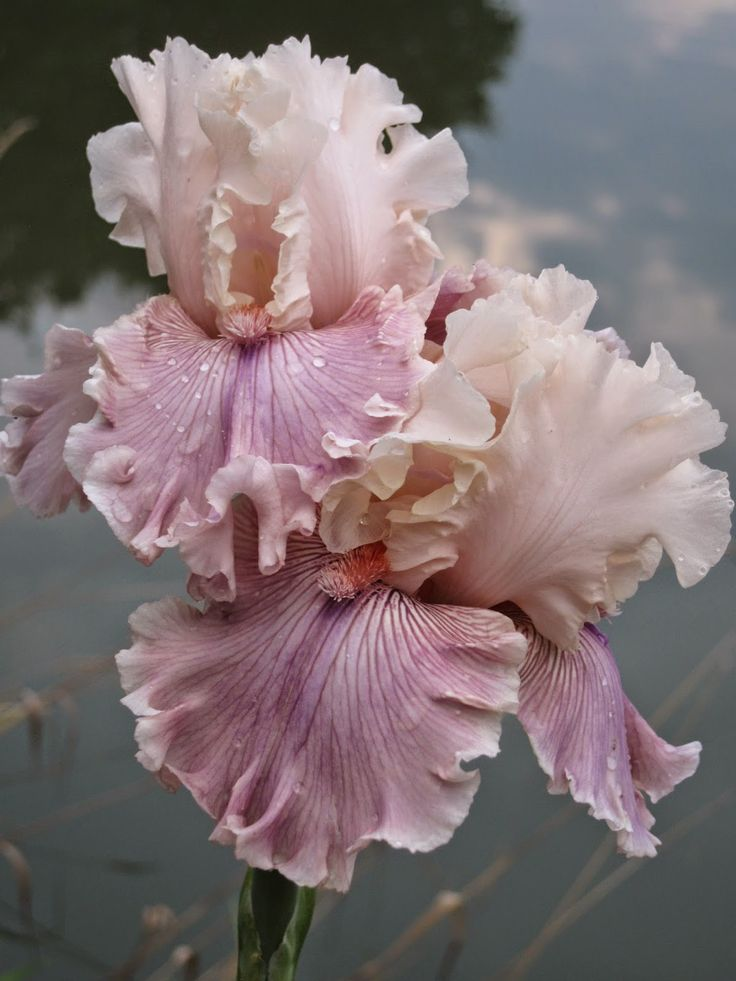 Iris 'Cross My Heart.'