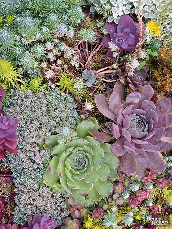 Hens-and-chicks are a lot like potato chips -- you can't stop with just one. These adorable, ground-hugging plants come in a wide assortment of shapes, sizes, and colors so they are super collectible. Each plant (the hen) sends out babies (the chicks) on short runners eventually forming a tight mat of pretty foliage.