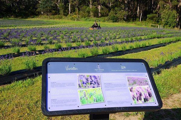 Port Arthur #Lavender #Farm #Tasmania ~ Photo by Dan Fellow, article for think-tasmania.com