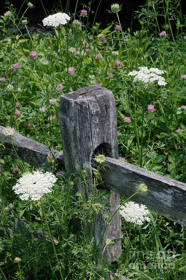 Old Fences and Queen Ann's Lace