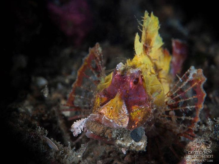 """A star that's not so keen on the limelight. The Filamentous species of scorpionfish are difficult to find but can be identified by their large heads and concave snout profiles.  Filamentous scorpionfish (Hipposcorpana filamentosus) - Photo by Fekia """"Opo K."""" Luas.  #StarofLembeh #Diving #Lembeh #Underwaterphotography"""