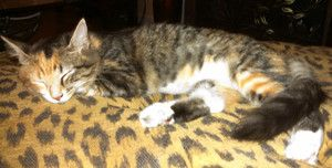 Polly is an adoptable Tortoiseshell Cat in Magnolia Springs, AL. Polly A beautiful medium to long haired tortoiseshell tabby kitten. Petite for her age. Very sweet. Tested negative for Feline Leuke...