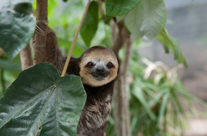 Sloth at Green Heritage Fund Suriname, photo by Becca Field