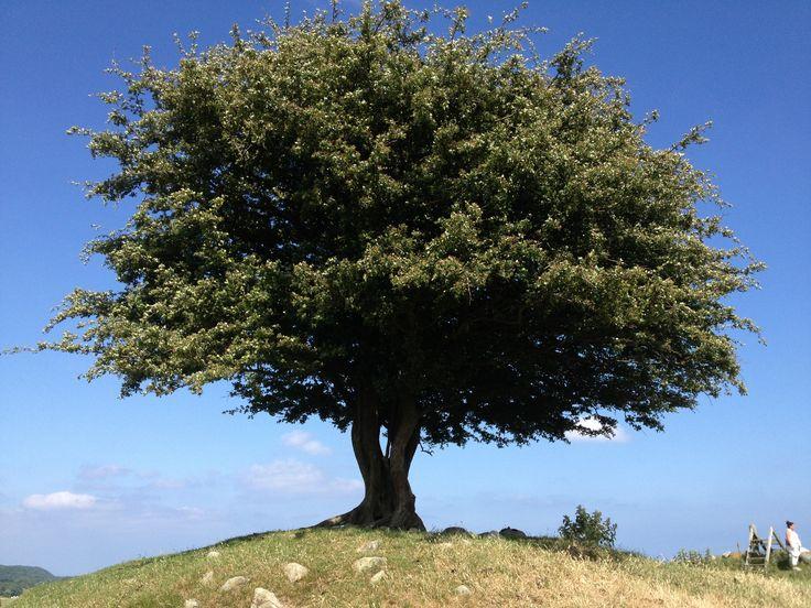 Livets Träd, Rörums Backar. Foto: Henriette Ellberg ©www.mittosterlen.se För mer information se mittosterlen.se/ #mittosterlen, #jordiskaparadis, #osterlen