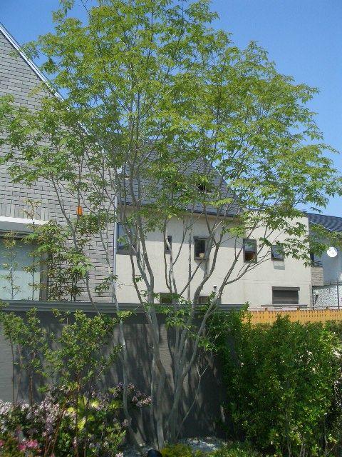 アオダモ 葉が多く茂らない涼しげな樹木