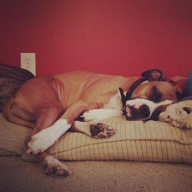 My sleepy boxer pitbull mix :)
