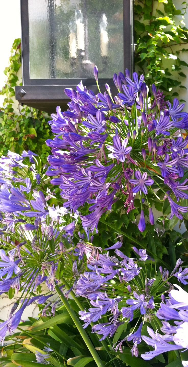 Agapanthus. Beautiful flower considered to be a noxious weed in Victoria, Australia. Can take over the garden, but lovely when controlled.