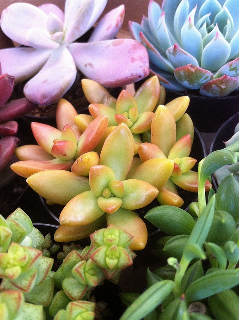 Succulent Rainbow by flora-file, via Flickr