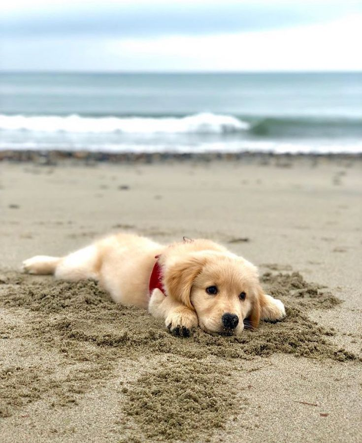 "Golden Retrievers en Instagram: ""🏝 @thereales…"