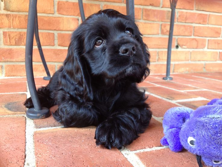 Adorable Little Black Cocker Spaniel Puppy with his Cuddly Toy.