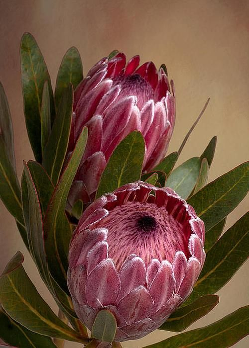 Pink Protea flower by Leah-Anne Thompson