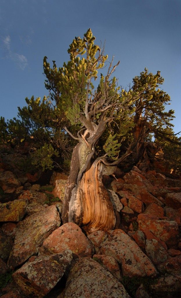 The oldest living tree near Pikes Peak is more than 2,000 years old