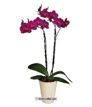 Mor Orkide Çiçeği  125,00tl + kdv    http://www.hizlicicekal.com/cicekler/cicekciler/cicek/107/mor-orkide-cicegi/