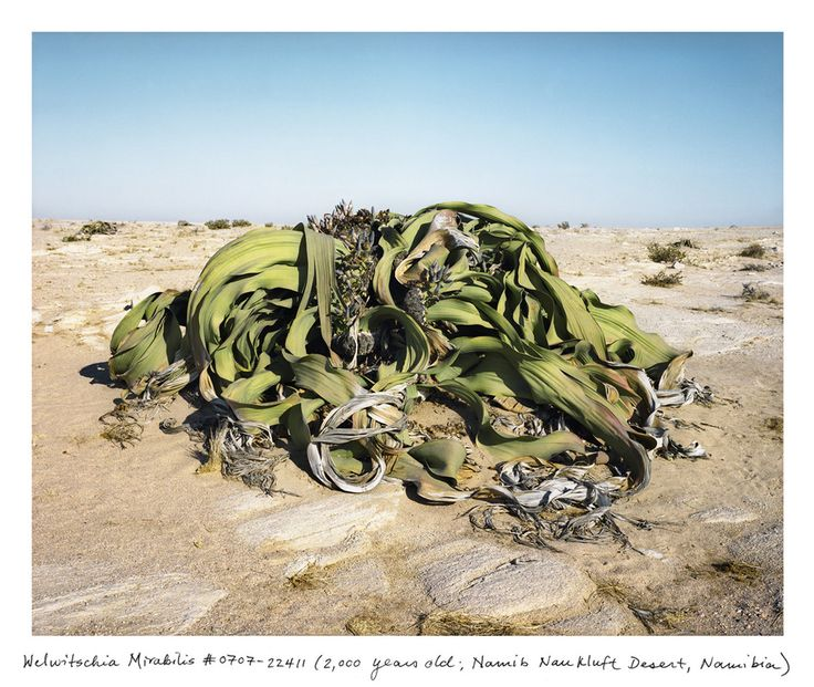 """A 2,000 year-old Welwitschia in the Namib-Naukluft Desert, Namibia, via Robert Krulwich, npr. Photo by Rachel Sussman: Welwitschia, when you finally get to see one, sits apart. It's very alone. All its relatives, its cousins, nieces, nephews have died away. It is the last remaining plant in its genus, the last in its family, the last in its order. """"No other organism on earth can lay such a claim to being 'one of its kind,'... #Plants #Welwitschia #Namibia"""