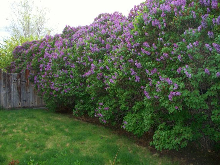 Lilac Bushes Over 50 Years Old Wow Nature Favorites
