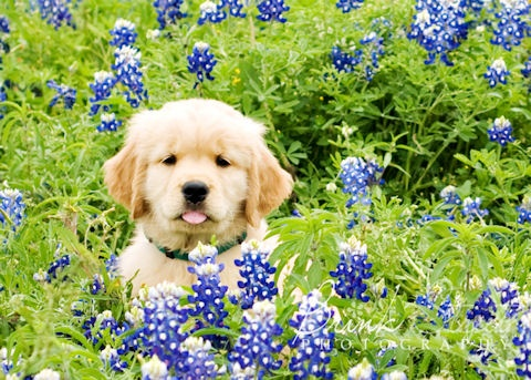 Golden Retriever puppy in bluebonnets. Love the tongue.