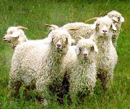 Angora goats.