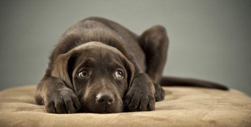 O que é a ansiedade de separação no cão?