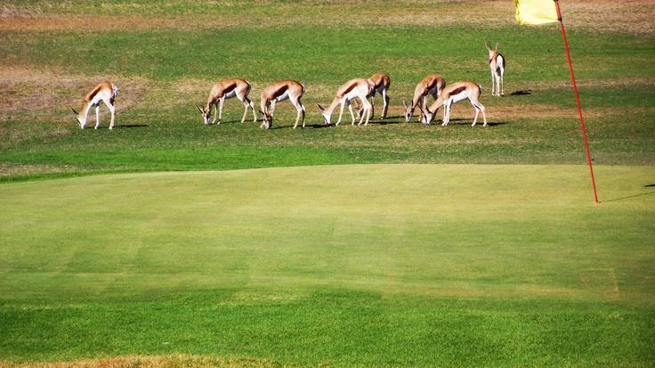 Springboks on our course.
