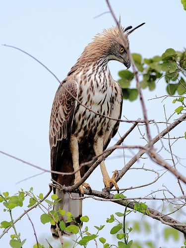 Crested Hawk Eagle ,Udawalawe National Park , Sri Lanka