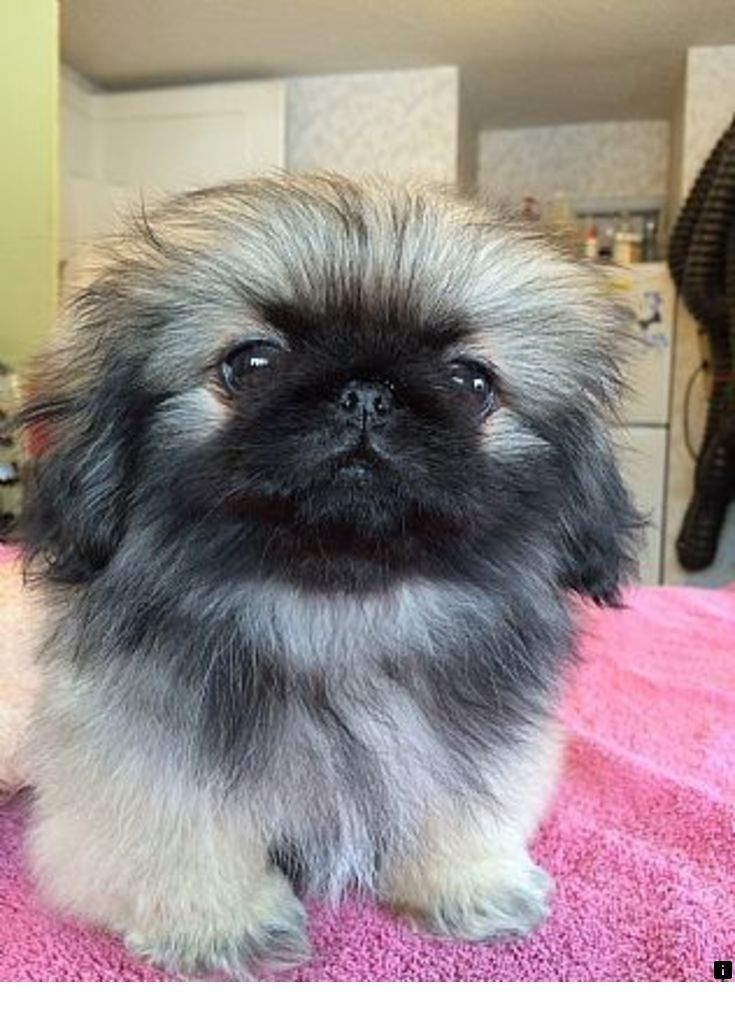 Click On The Link To Read More About Pug Puppies Click The Link To Get More Information Enjoy The Website Pekingese Puppies Pets Pet Dogs Puppies
