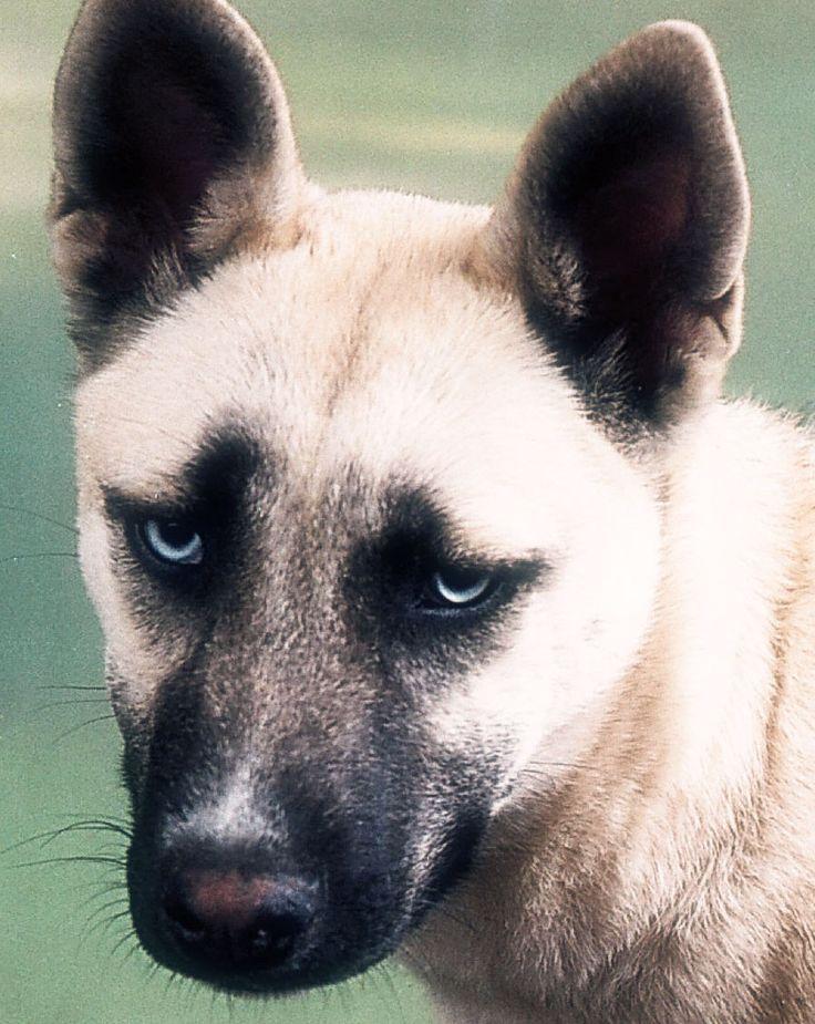 SHIBA INU ET CHIENS JAPONAIS | Le NOKOMIS, mini husky / loup miniature amérindien
