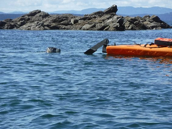 Let us take you into the wild! Seals are commonly seen during our guided kayak tours. Dog Mermaid Eco Excursions, Sea Kayak Rentals & Retreats, Pender Island, BC