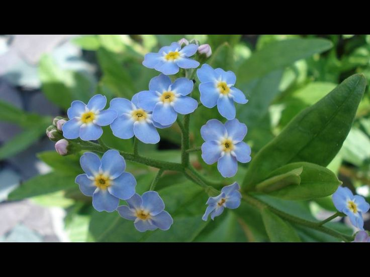 Water forget-me-nots