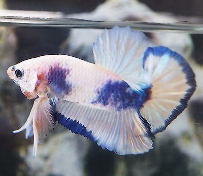 Marbled-Blue-White-HMPK-Halfmoon-Plakat-Male-FHP024