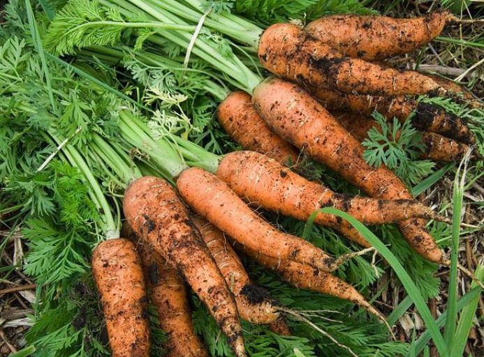 Planter la carotte en pot ou jardinière | Potager, Jardin ...