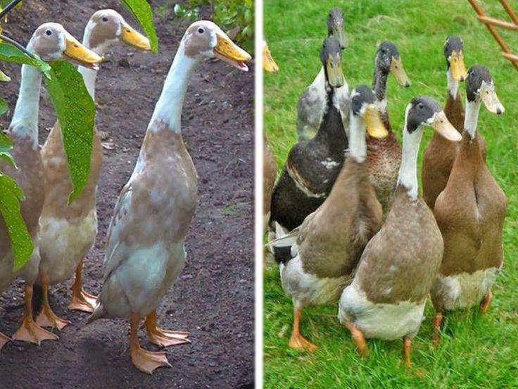 Le canard coureur indien, un chasseur de limaces infatigable   Blog Jardin Alsagarden - Conseils de Jardinage
