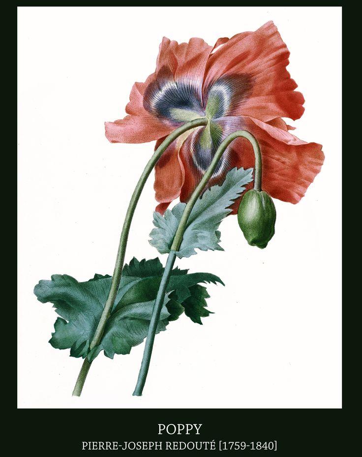ЦветочноФруктовая литография...ботанические иллюстрации | Pierre-Joseph Redoute. Обсуждение на LiveInternet - Российский Сервис Онлайн-Дневников
