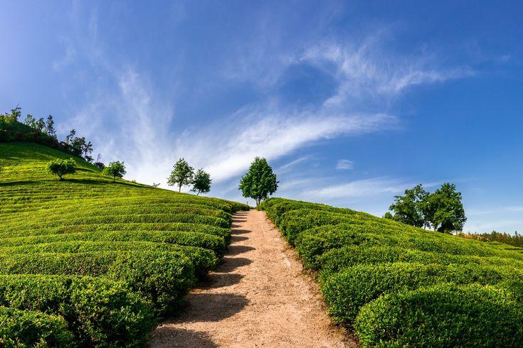 Boseong Green Tea Fields in South Korea - http://lightorialist.com/boseong-green-tea-fields-south-korea/