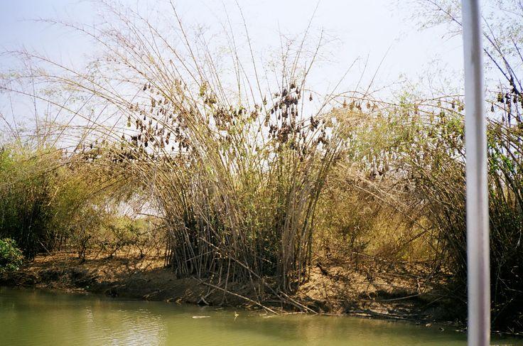 Bats decorating bamboo on the edge of a billabong