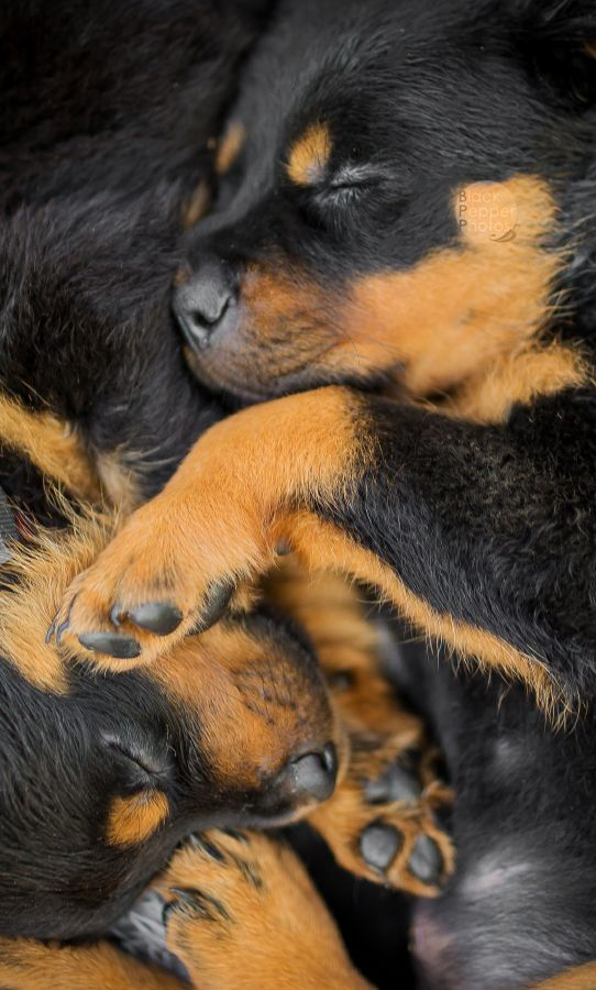 magicalnaturetour:  Rottweiler - puppies by BlackPepperPhotos    Puppy Love