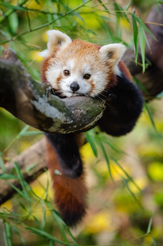 Red Panda by Mathias Appel