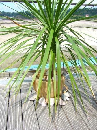 cordoline pine £20
