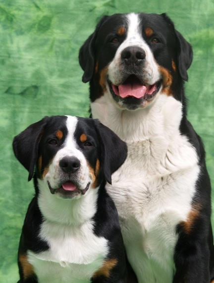 greater swiss mountain dogs. my sisters dogs. RIP Love You Doreen.